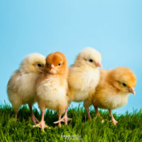 6 Reasons to Raise Chickens